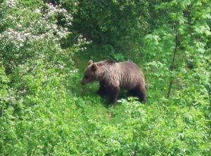 Slowakei Bär auf Futtersuche - Sento Wanderreisen