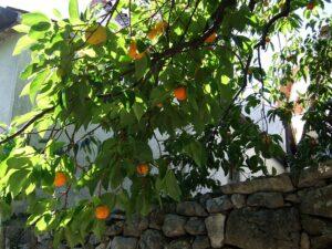 Slowenien Khaki-Früchte - Sento Wanderreisen